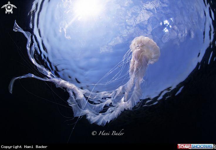 Jellyfish in Kingdom of Bahrain