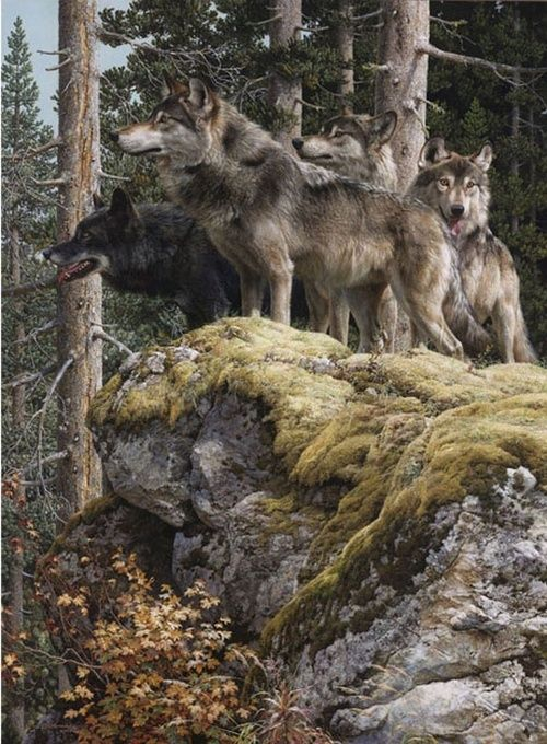 wolves pack checking out the surroundings..