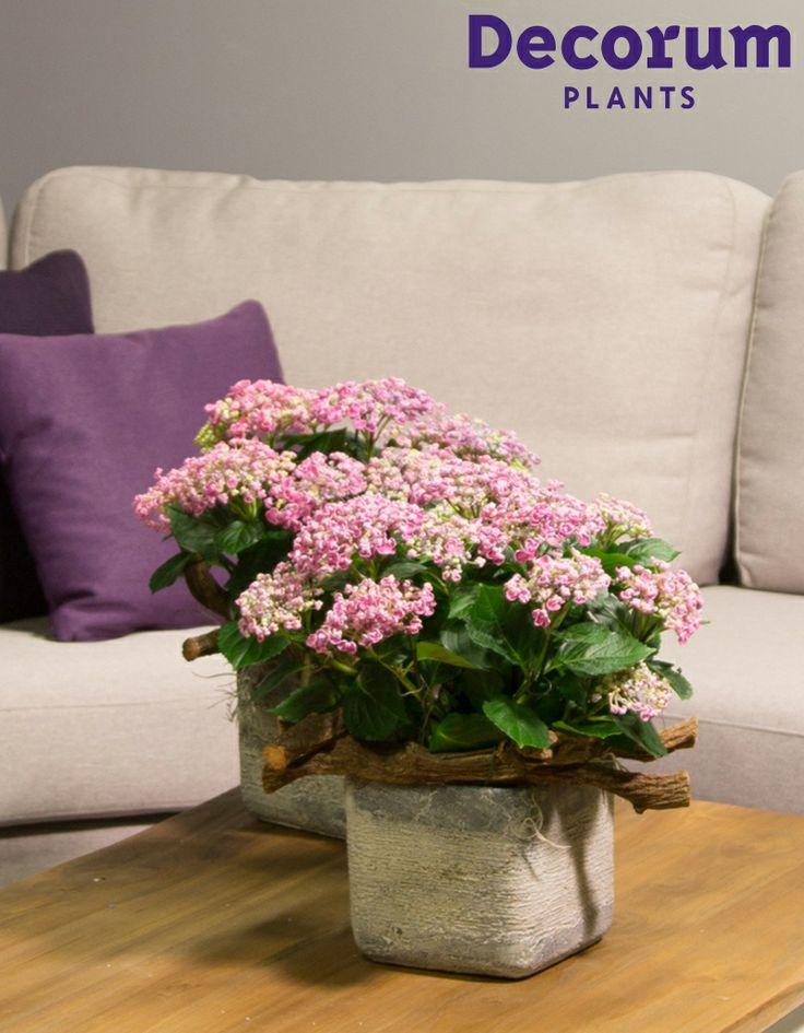 New! Hydrangea Curly Wurly Pink   #Decorum Innovation of 2014   Grower: Dijk van Dijk & De Bonfut