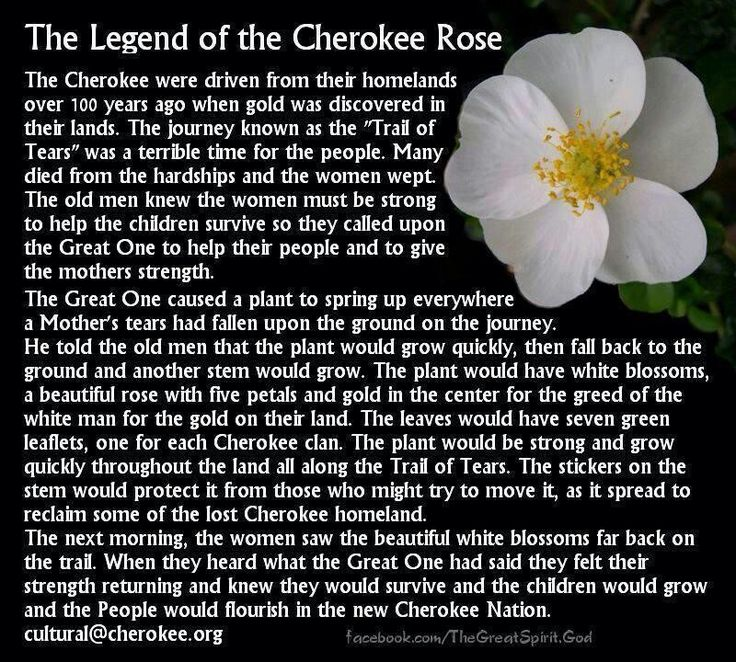 The Legend of the Cherokee Rose...