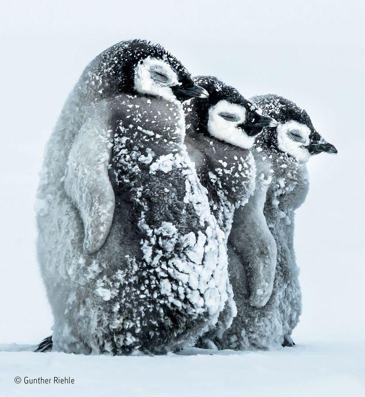 """Drei Kaiserpinguin-Babys halten sich am Südeis der Antarktis warm. © Gunther Riehle, Deutschland: """"Facing the Storm"""""""
