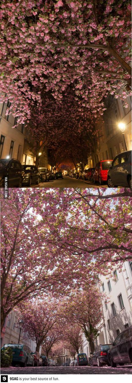 Cherry Blossom Street, Bonn, Germany
