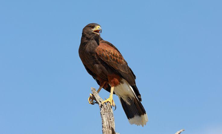 Harris's Hawk Portrait of a Harris's Hawk Harris hawk