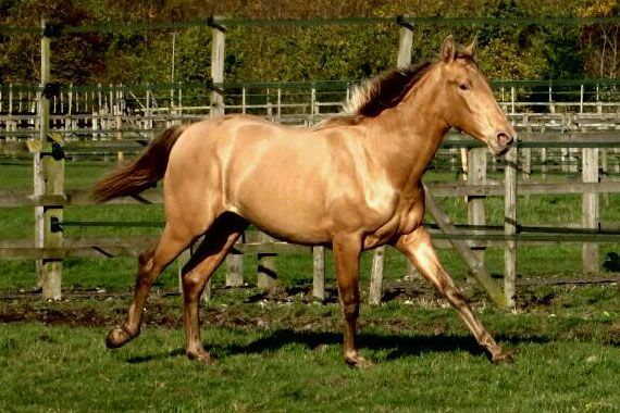 Pearl of Peace - Oro . The rising two-year-old pure Spanish colt is a genetic rarity and the only horse of his breed in Britain to possess the double pearl and double black gene.