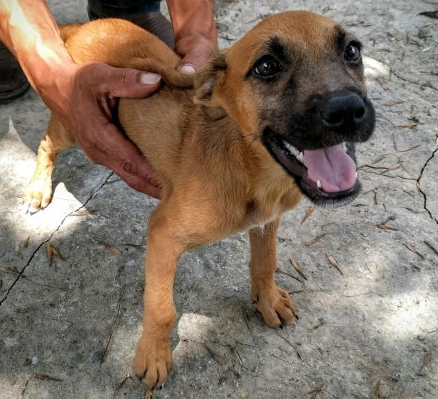 This DOG - ID#A463756 - located at Harris County Animal Shelter in Houston, Texas - 9 WEEK OLD Female Black Mouth Cur mix - at the shelter since Jul 13, 2016.