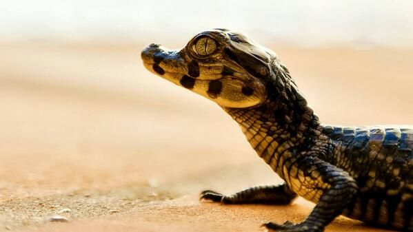 Baby Mugger Crocodile (Crocodylus Palustris)