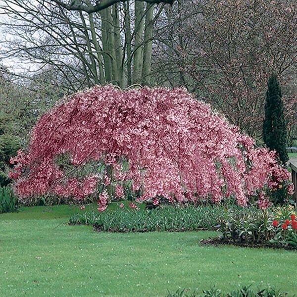 5ft Single Pink Weeping Cherry Blossom Tree 9l Pot Prunus Pendula Pendula Rubra 47 99 Types Of Soil Types Of Flowers Cherry Blossom Tree
