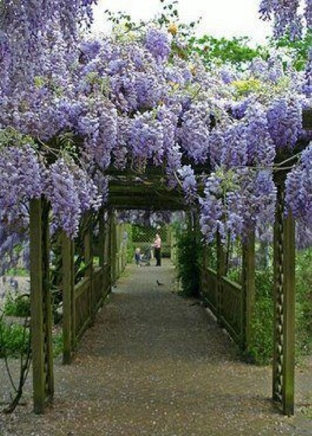 Wisteria Archway Wisteria Pergola Beautiful Gardens