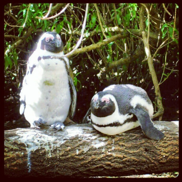 African Penguins, Boulders Beach, Cape Town. by AfricanTours, via Flickr
