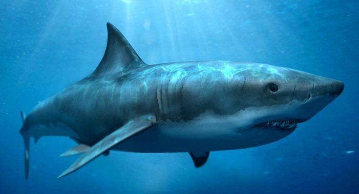 Inilah 38 Ikan Terbesar Di Dunia Yang Pernah Di Tangkap Megalodon Ikan Ikan Paus