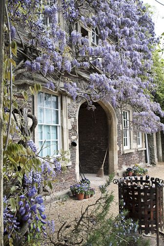 Wisteria in Front