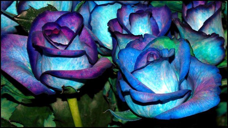- Big rose flower wallpaper ...