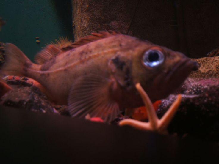 Sebastes norvezicus, conhecido também como Bodião vermelho de ouro, poleiro vermelho ou poleiro do oceano. Aquário da Nova Inglaterra.  - Wikipédia, a enciclopédia livre.