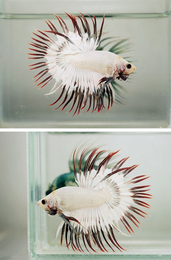 White/Black/Red Crowntail Betta