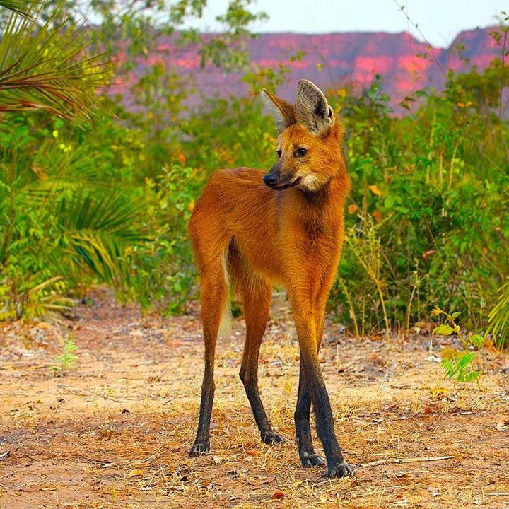 maned wolf, native to South America