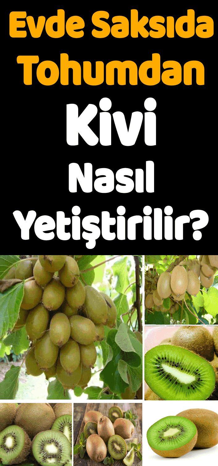 Minik bir kivi çekirdeğinden kilolarla kivi yetiştirmeye.. #kivi #meyve #yiyecek #tarım #organik