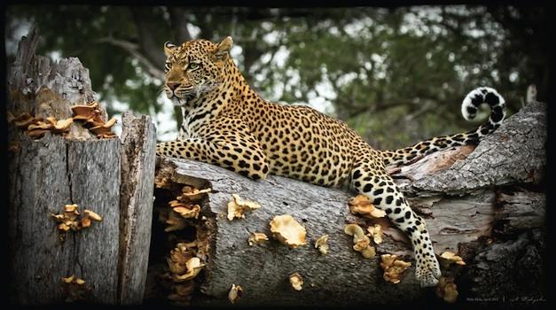 SEMI FINALIST: Nick Rabjohn – Leopard on log