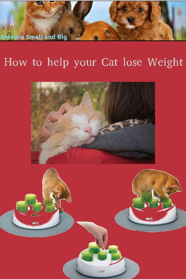 6566477dfcfd1f2c4b6ee46104944260 - How To Get My House Cat To Lose Weight