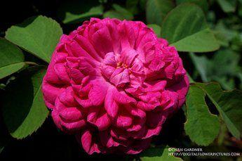 Rose de Rescht - portlandka - 120x70