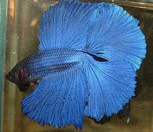 Rare betta fish basic types of bettas bettas for Rare types of betta fish