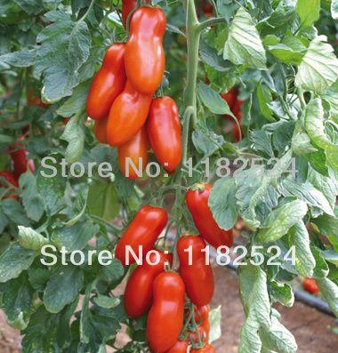 А сан - дж. марцано тип для теплицы - Pozzano ( F1 ) семена помидоров фрукты овощи ( 30 семена )