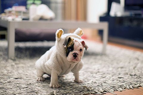 : Bulldogs Puppies, Sheep Dogs, French Bulldogs, Dogs Costumes, Pet, English Bulldogs, Baby Bulldogs, Baby Animal, Bull Dogs