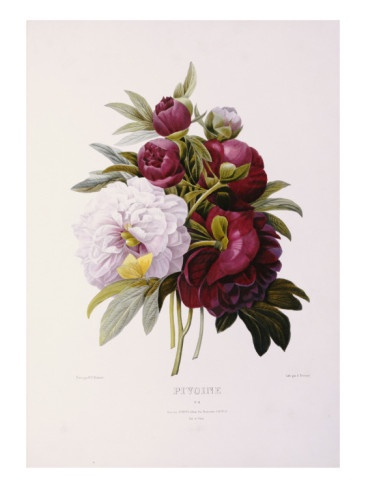 Peonies, Engraved by Prevost Giclee Print by Pierre-Joseph Redouté