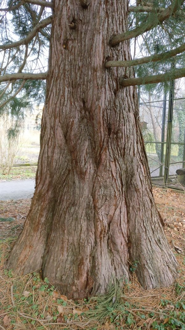 Botanischen Garten Picture By Treefriend 2nd Of February 2018 With Images Sequoia Tree Tree Garten