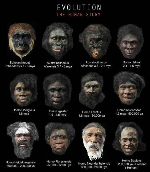 tchadensis de Sahelanthropus a INMH ( anatómicamente humanos modernos Homo sapiens )
