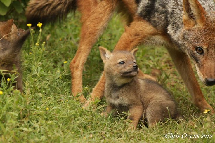 Lucky daytime sighting of a young Jackal pup and Mom at Sibuya Game Reserve in the Eastern Cape, South Africa www.sibuya.co.za