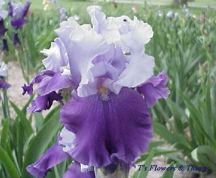 Tall Bearded Iris Flowers   Flowers & Things - Iris Congratulations (Tall Bearded Iris) - $3 ...