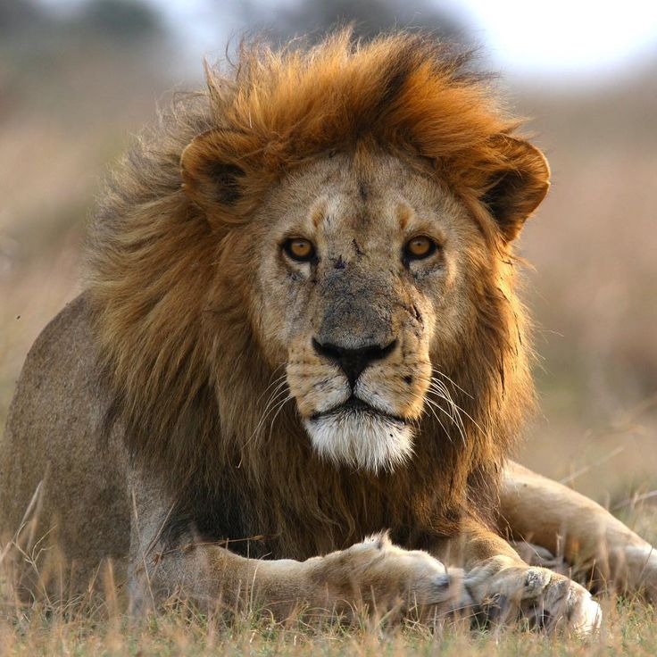 An adult male lion
