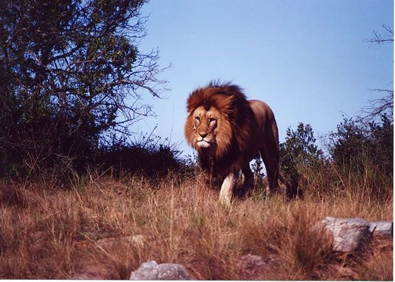 Male Lion Approaching, Pumba Private Game Reserve