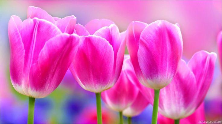 14 best bunga tulip images on Pinterest  Bunga tulip