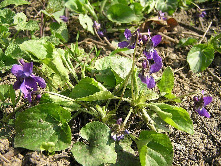 Při jarní procházce můžeme spojit příjemné s užitečným. Mnoho běžných rostlin se hodí pro přípravu domácí kosmetiky: violka regeneruje, kopřiva projasňuje, magnólie vyhlazuje vrásky…