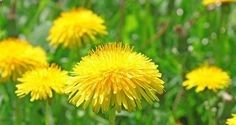 dandelion | Picking Edible  Medicinal Plants – Must Know Rules