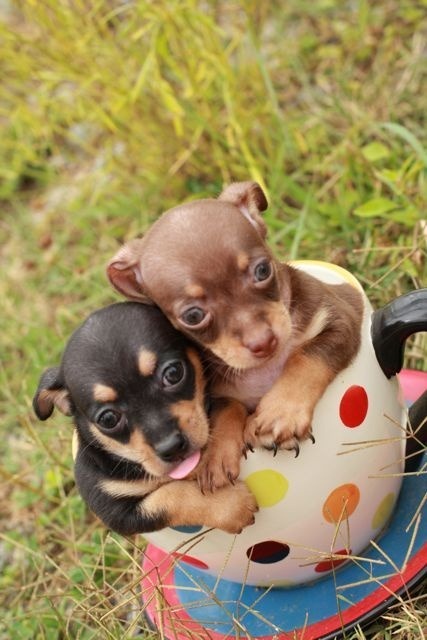 Teacup Chihuahua Puppies- 7 Wks Old- Males And Females $300