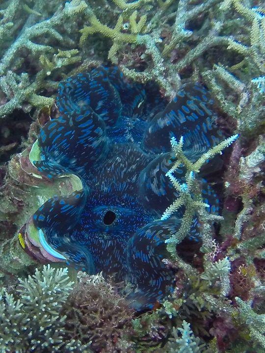 Fluted Giant Clam: Havannah, Efate, Vanuatu