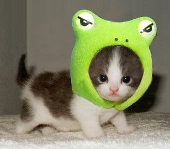 I have got to get a new stylist......Hats, Cute Animal, Kitty Cat, Animal Pictures, Baby Animal, Kittens, Frogs, Baby Kitten, Baby Cat
