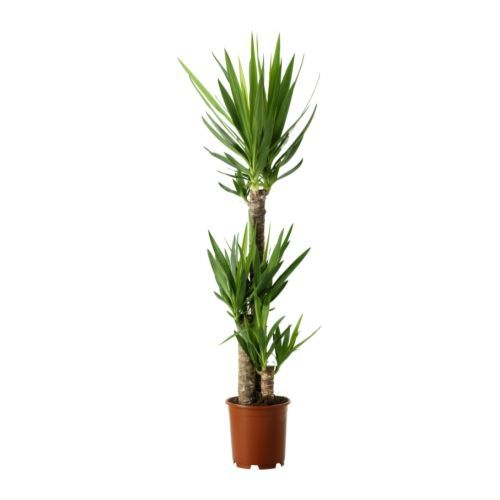 YUCCA ELEPHANTIPES Potted plant, Spineless yucca, 3-stem $19.99 Article Number: 668.040.71
