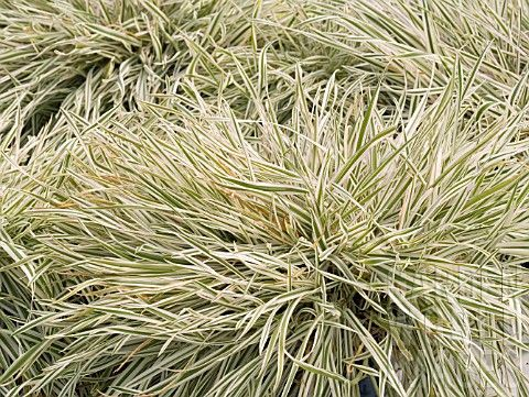 Holcus mollis 39 variegatus 39 commonly known as variegated for White ornamental grass