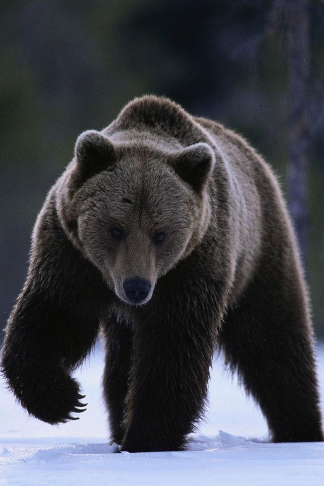 """""""Grizzlybjörnen är en stor och kompakt brunbjörn med inslag av grått i topparna av det yttre hårlagret i pälsen, något som ger den ett gråaktigt färguttryck. Grizzlybjörnen kännetecknas bland annat av en stor puckelliknande bula på ryggen, sittande mellan skulderbladen. Detta är en muskelmassa som björnen använder för att få styrka i frambenen när den gräver. Huvudet är stort och runt, vilket ger ett konkavt ansiktsuttryck sett i profil."""