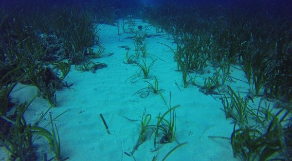 Red Eléctrica de España and the Mediterranean Institute for Advanced Studies (IMEDEA CSIC-UIB) to continue working on the experimental planting of Posidonia oceanica