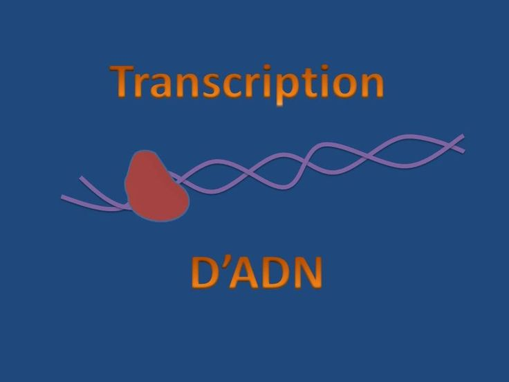 Cette vidéo explique le mécanisme de transcription d'ADN en ARN dans le noyau lors de la synthèse protéique.
