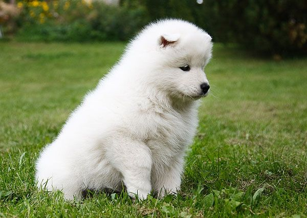 siberian samoyed dogs
