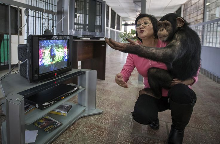 Zoo staff Sholpan Abdibekova and Tomiris, a 5-year-old chimpanzee, react as they watch a BBC environmental program in a primate winter enclosure in Almaty on March 6, 2015. Zoo employees screen various wildlife TV programs to primates like Tomiris, who were born in the zoo, to help their development at the zoo.