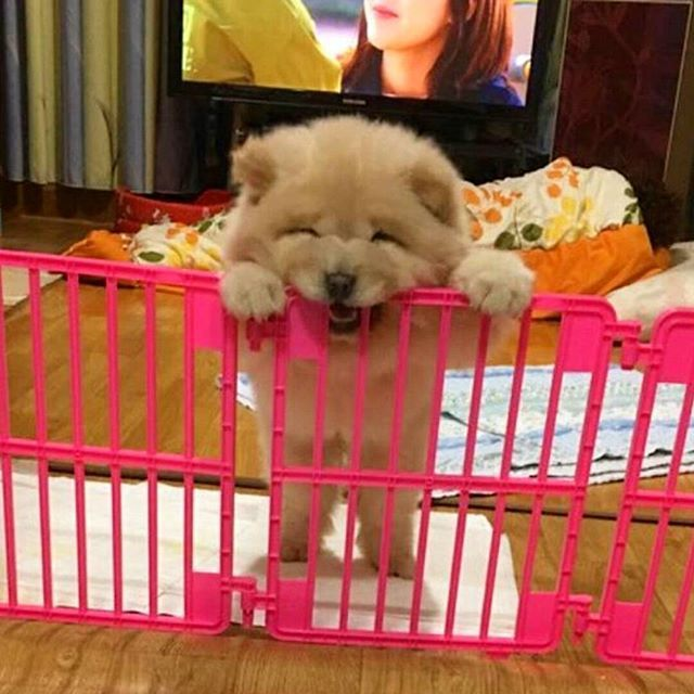PHoTo :  @SoBBuNG__  #animals #instaanimal #pets  #instapet #dogsofinstagram #dog #puppy #puppylove #instapuppy #puppies #woof #fluffy #yavruköpek #paws #cachorro #babyanimals #chowchow #chowchowpuppy #perro #anjing #собака #щенок #강아지 #ペット #犬  #動物  #개  #پت #حیوانات_خانگی #هاپو  MY SPESIAL CHOW FRIENDS :  @SDSTaSiuK @DIGSBY_N_CiNDeReLLa_THe_CHoWS  TaG YouR FRieNDs :