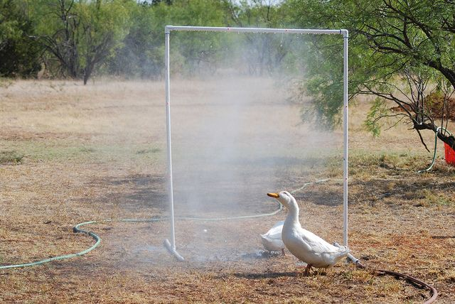 My chickens are going to love this.  Especially when it gets really really hot.