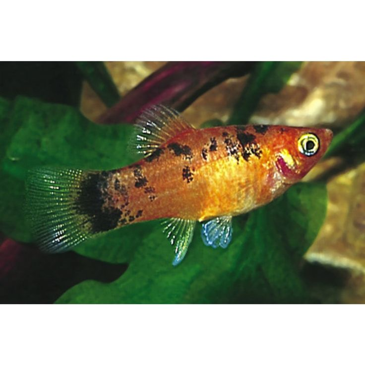 127 best images about aquariums platys please on for Platy fish breeding