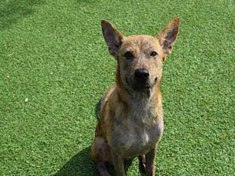 Plott Hound Dog for adoption in Atlanta, Georgia - PRINCESS